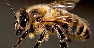 Укусы пчёл