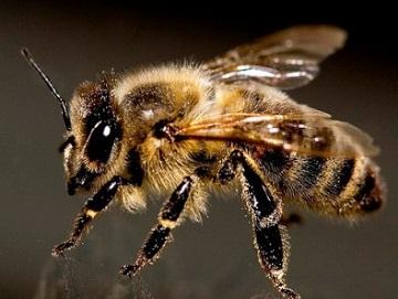 Укус пчелы: полезно или опасно? Как быстро и эффективно вылечить пчелиный укус?