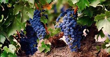 Лоза виноградная
