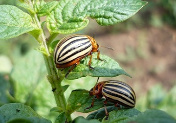 взрослые насекомые колорадского жука