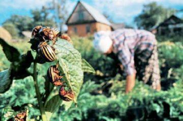 ручной сбор колорадских жуков