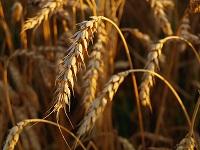Трипс пшеничный