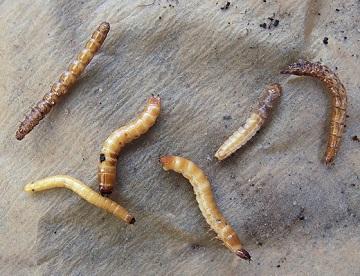 Щелкун личинки