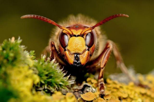 Пчела и шершень - вечное противостояние