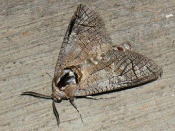 Бабочка древоточца пахучего