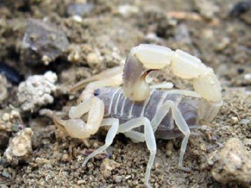 Белый скорпион