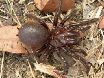 Коричневый австралийский паук