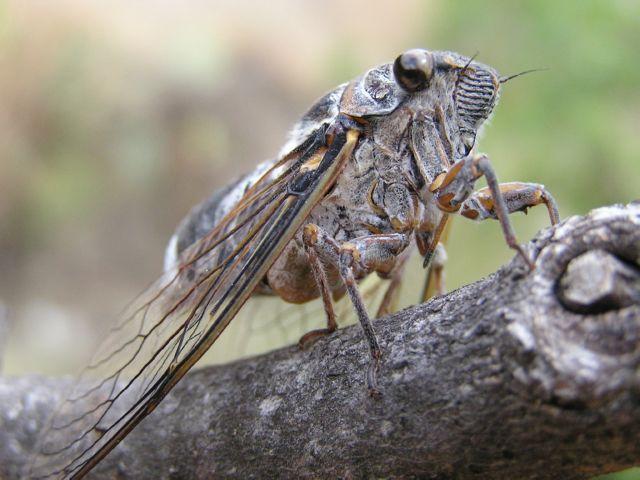Кто такие цикады и как они выглядят