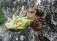 насекомое цикада