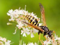 виды осы