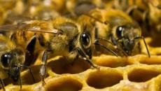 Дикие пчелы на сотах