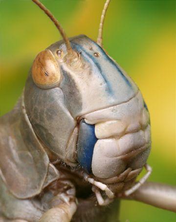 Голова саранчи