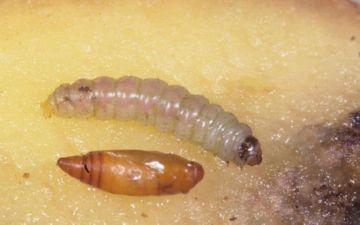 Гусеница картофельной моли