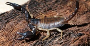 Красный скорпион