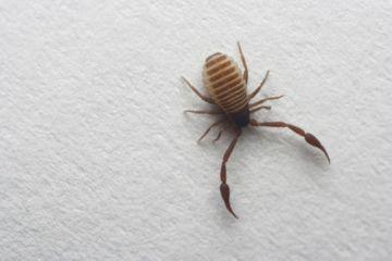 Ложноскорпион небольшой