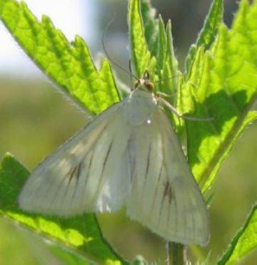 Бабочка лугового мотылька