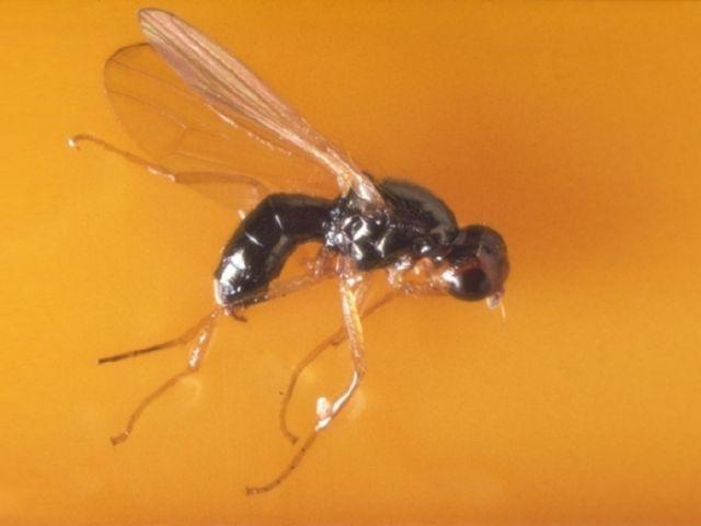 Борьба с морковной мухой народными средствами