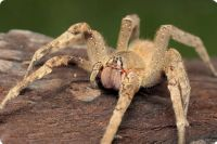 бразильский паук солдат