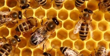 Пчела домашняя