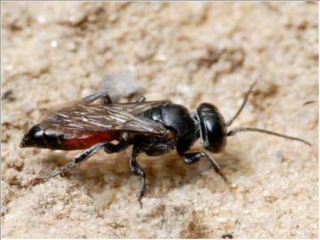 Взрослая особь дорожной осы