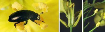 Рапсовый цветоед и поврежденные ним растения