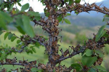 Саранча на дереве