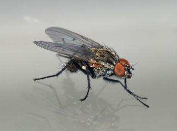 Небольшая шведская муха