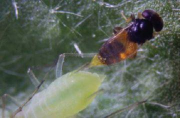 Aphelinidae