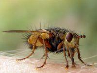 муха цеце укус