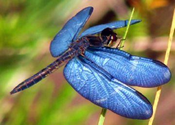 Стрекоза Odonata