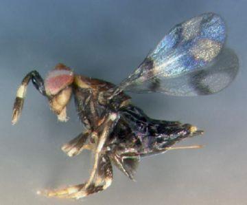 Trichogrammatidae