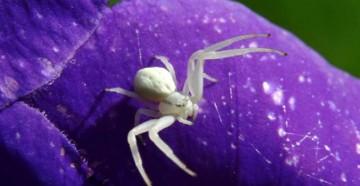 Белый паук-бокоход