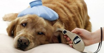 Арахноз у собаки