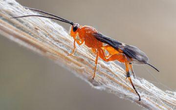 Braconidae