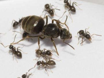 Черно-бурые муравьи