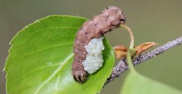 Гусеница и личинки наездника