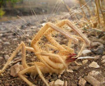 Испанский солнечный паук