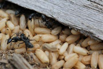 Яйца бурых муравьев