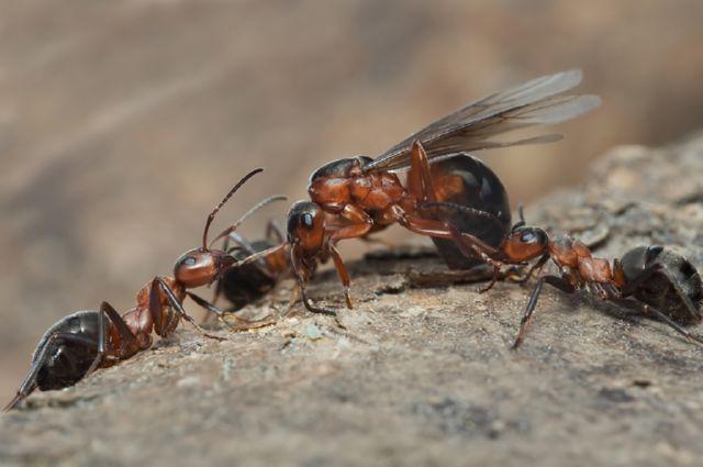 Какую пользу приносят муравьи людям и в лесу, чем они полезны в саду и огороде