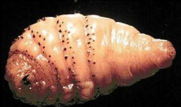 Личинка человеческого овода