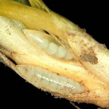 Личинки гессенской мухи