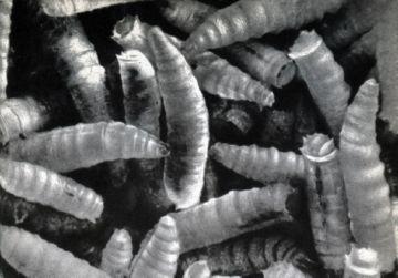 Личинки вольфартовой мухи