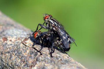 Мясные мухи