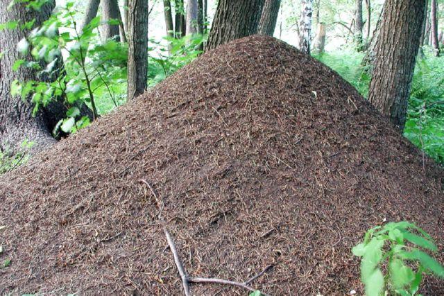 Огненные красные муравьи фото и описание