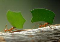 муравей-листорез