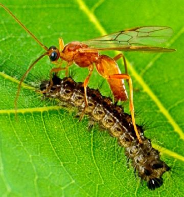 Наездник и гусеница