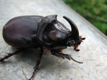 Темный жук-носорог