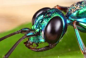 Макросъемка осы