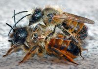 пчелы осмии