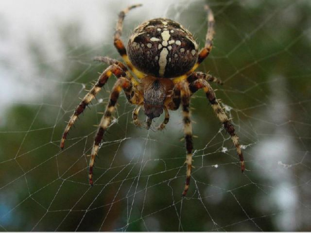 Паук с крестом. Черный паук с белым крестом на спине. Паук крестовик